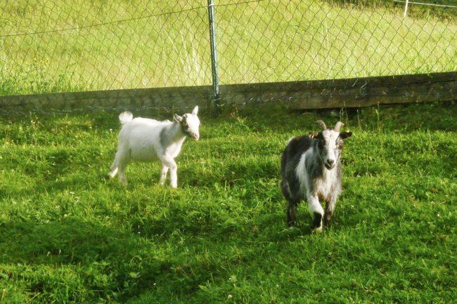 Bauernhof erleben - Bauernhoftiere für Kinder - Kinder-Bauernhof Hinterfischbach in Radstadt, Salzburger Land